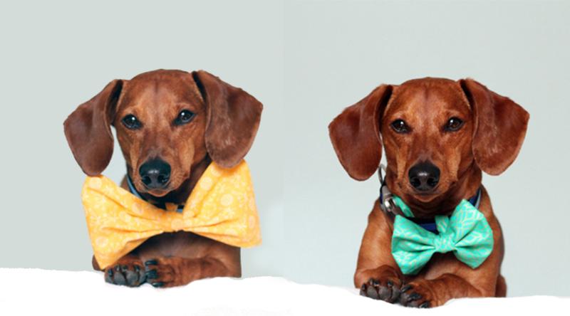 bowtie dashshund